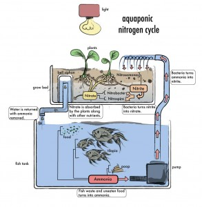 The endless cycle of the aquaponics system. Image credit DIY Aquaponics