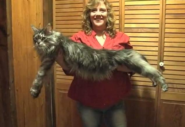 The World's Longest Cat. Image credit NY Times