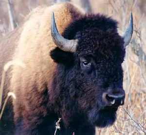 The American Bison. Image credit: Bozeman Magpie