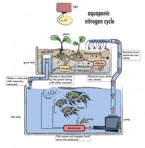The endless cycle of the aquaponics system. Image credit DIY Aquaponics